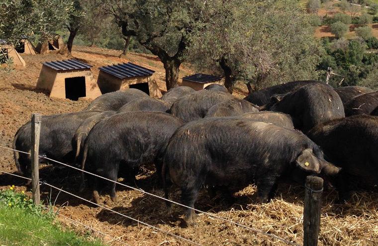 Hodowla czarnych świń kalabryjskich Madeo
